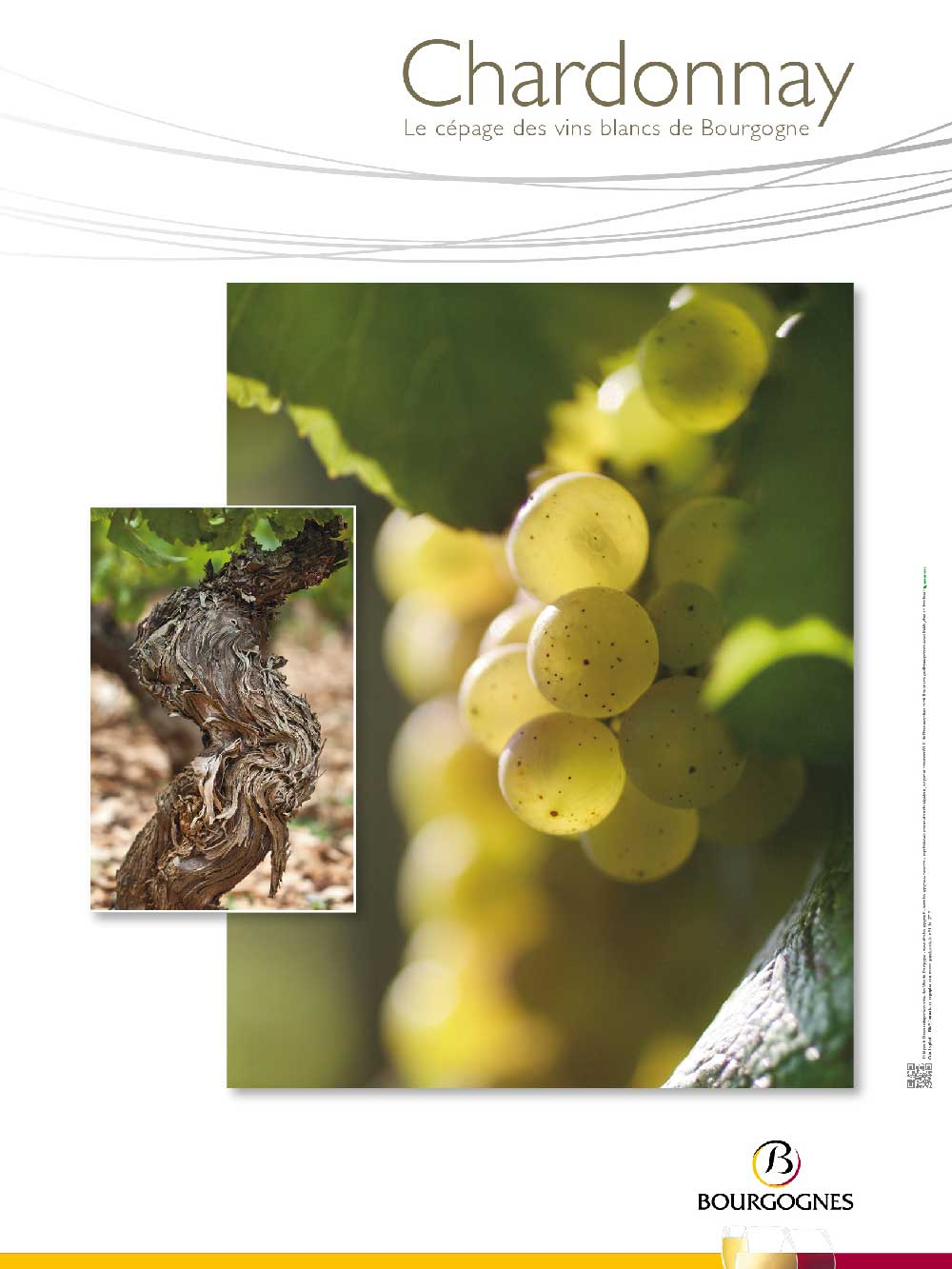 Poster - Cépage Chardonnay