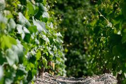 © BIVB / ARMELLEPHOTOGRAPHE.COM Rang de vigne dans le vignoble de l'Auxerrois