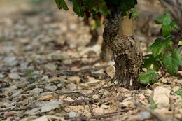 Cep de vigne en Bourgogne viticole