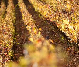 © BIVB / JOLY M.Vignes en automne