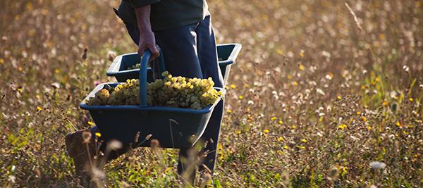 © BIVB / www.armellephotographe.com - Vendanges en Bourgogne